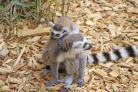 Three baby lemurs have been born at Colchester Zoo