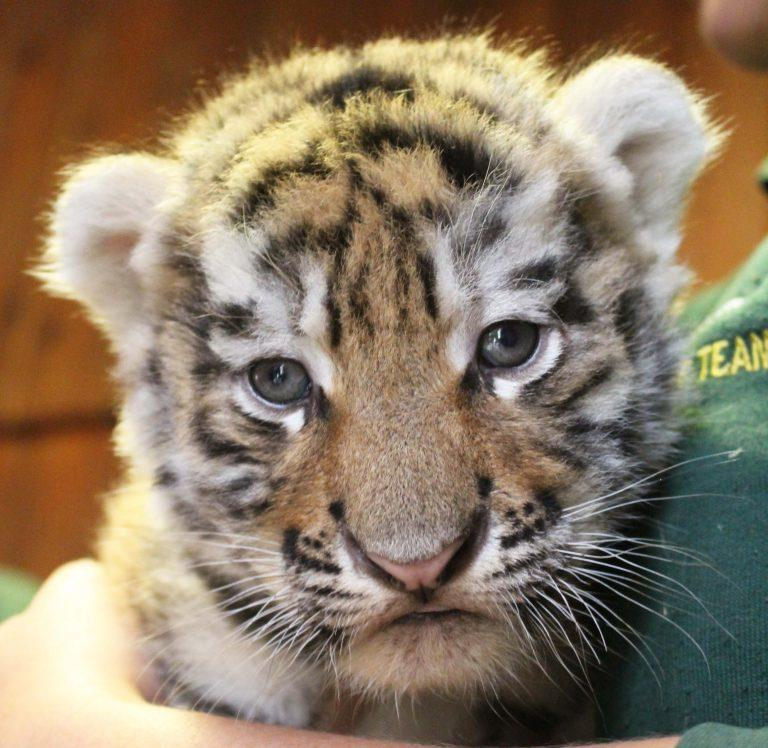 First photos of Colchester Zoo's adorable tiger cubs are released