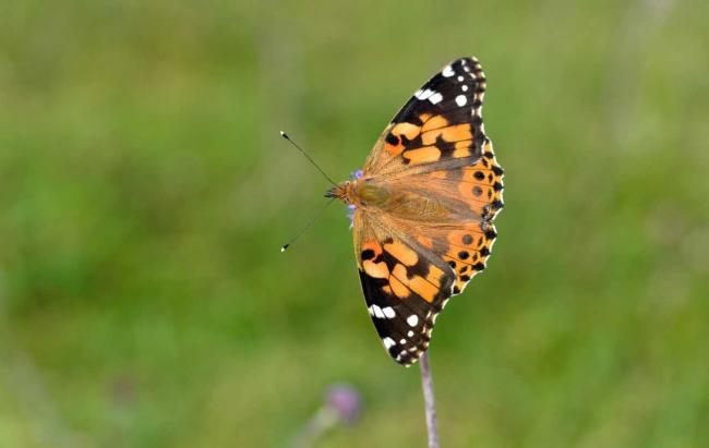 Influx – the painted lady butterfly
