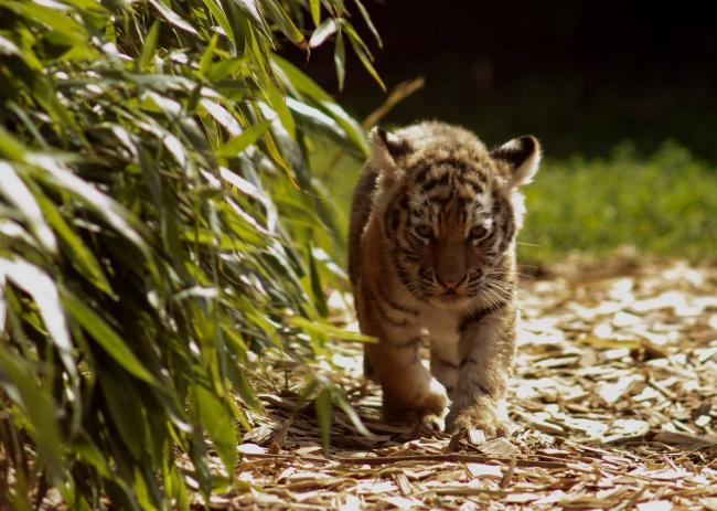 Ian Merrick's picture of one of the tiger cubs