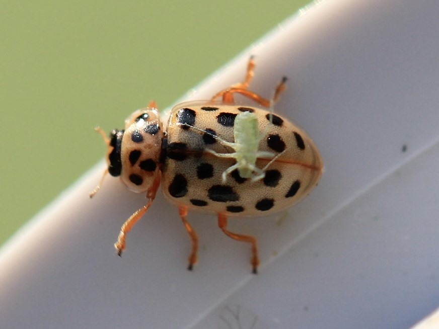 Walk on the Wildside. The world of Ladybirds and Shieldbugs