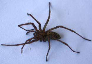 Pic taken by Patricia Leach of Colchester.  A harvest spider.