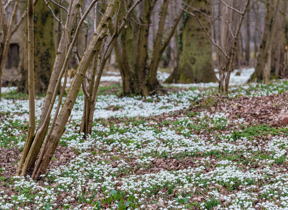 Snowdrops Walks & Woodland Trails