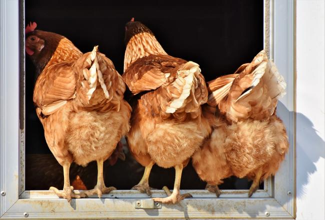 A stock picture of chickens
