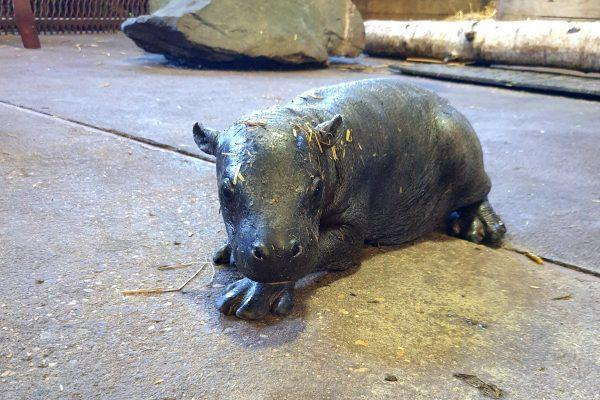 Gazette: Visitor will hopefully be able to see the zoo's new pygmy hippo in a few weeks
