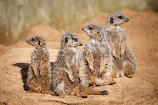 Cute - meerkats at Colchester Zoo. Picture: Neil Young