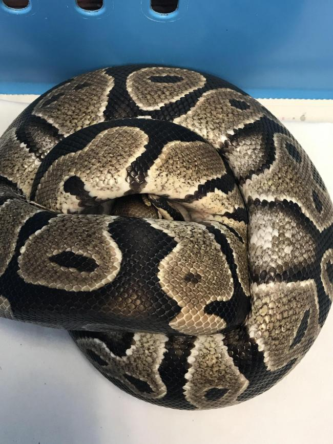 HUGE SNAKE: A 3 feet long python was found curled up under plastic at a building site in Manningtree