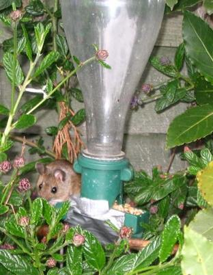 A mouse takes advantage of a bird feeder in Karen McKeever's garden in Stanway Green.