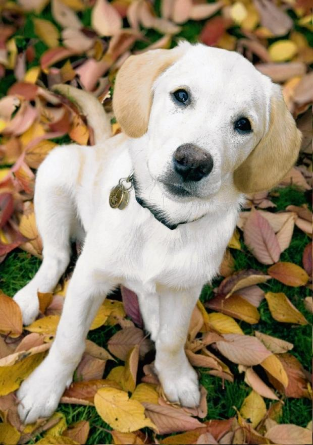 Carers are wanted for guide dog puppies such as this before they begin full training