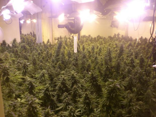 Cannabis: Police found 500 plants at a house in Ashley Road, Dovercourt