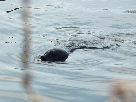 Seal spotted in town centre river