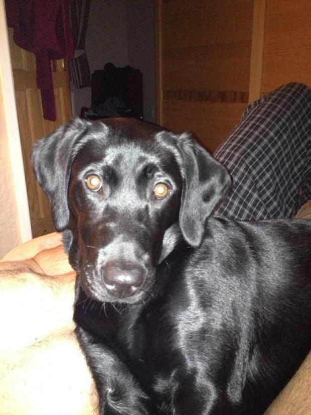 Have you seen missing labrador Bella?