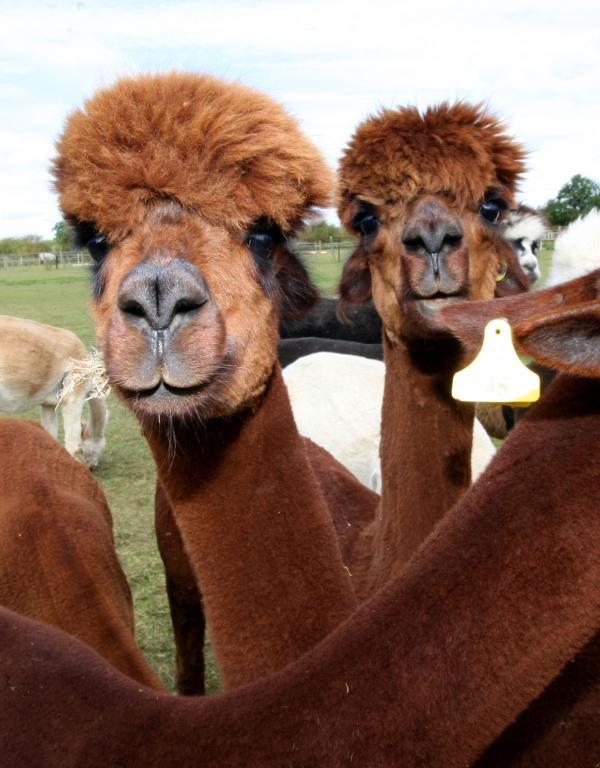 Alpacas entertain hundreds of visitors during first open weekend