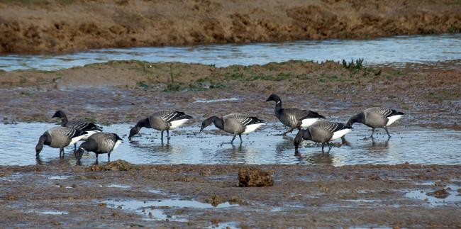 Flock - brent geese at Fingringhoe Wick Credit: Peter Bowden