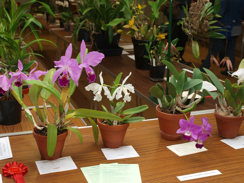 Essex Orchid Society Autumn Show