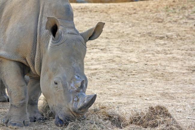 Colchester Zoo to welcome baby white rhino in December | Gazette
