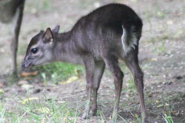 The new baby blue duiker at Colchester Zoo